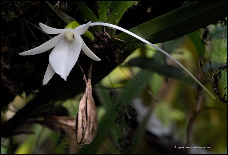 Angraecum borbonicum, orchidée commune mais capricieuse Angrae86