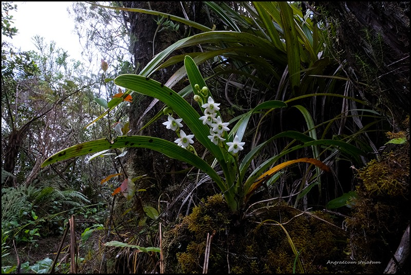 Angraecum borbonicum, orchidée commune mais capricieuse Angrae88