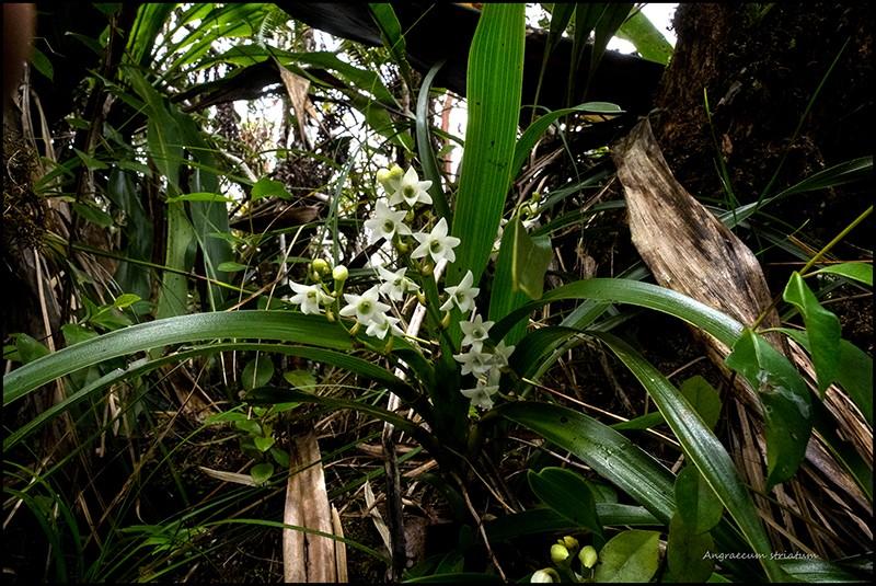 Angraecum borbonicum, orchidée commune mais capricieuse Angrae89
