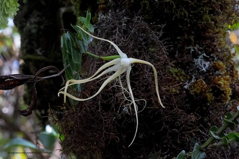 Angraecum borbonicum, orchidée commune mais capricieuse Angrae93