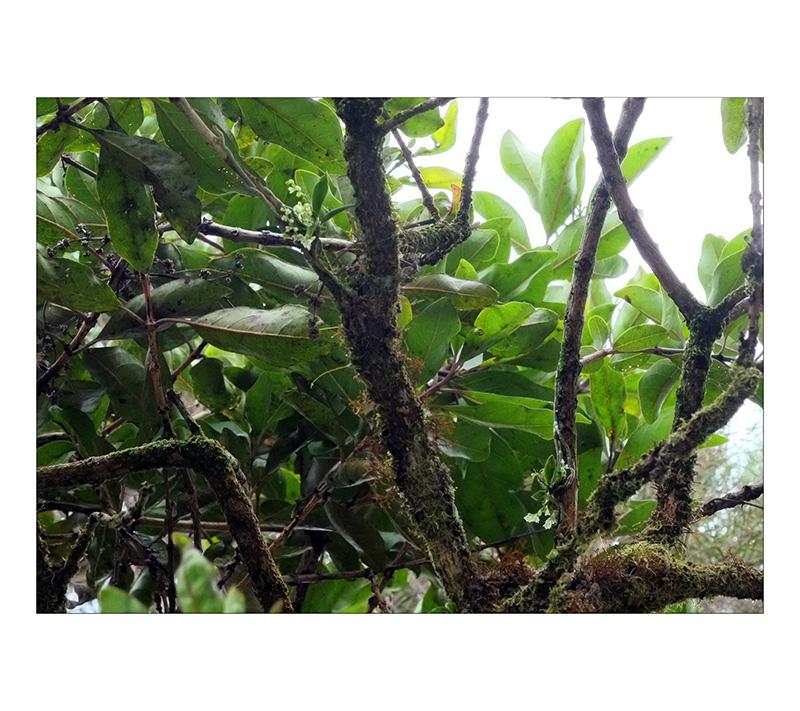 Angraecum microphyton ... ou tenellum ( ? ) Angrea10
