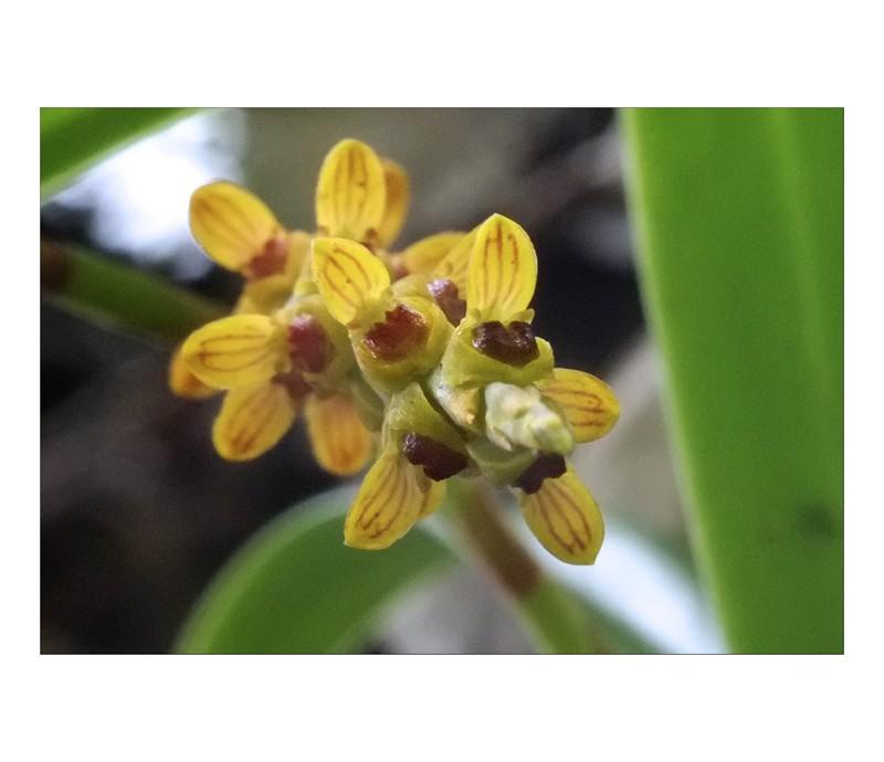 angraecum rare et bulbo caespitosum Bulbo711
