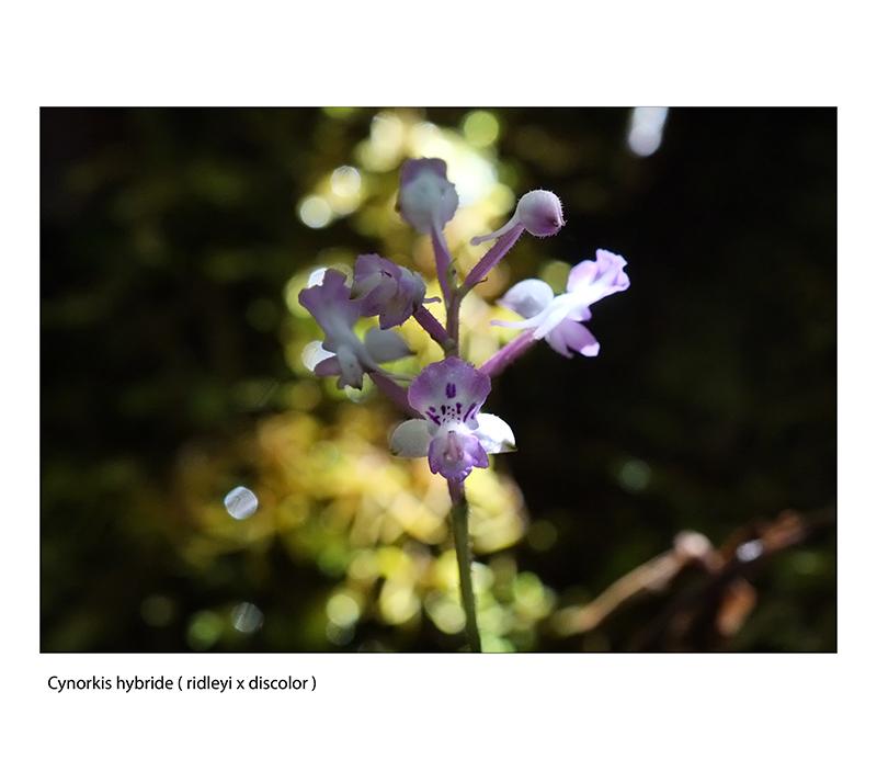 phaius pulchellus ...enfin. Cynork16