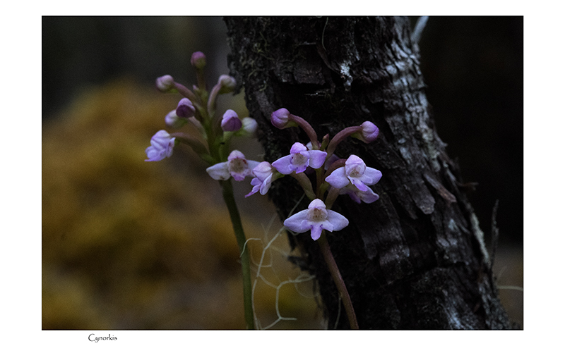 Angraecum cornigerum, la belle endémique Cynork33