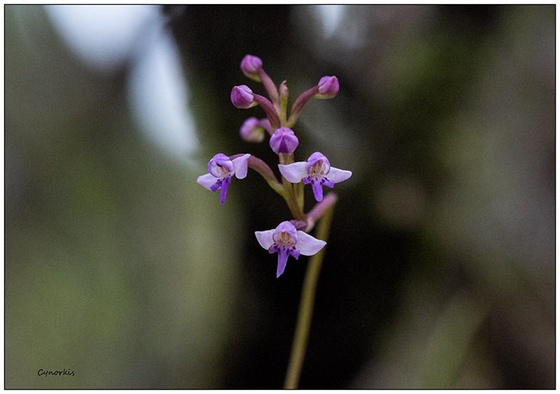 Angraecum cornigerum, la belle endémique Cynork34