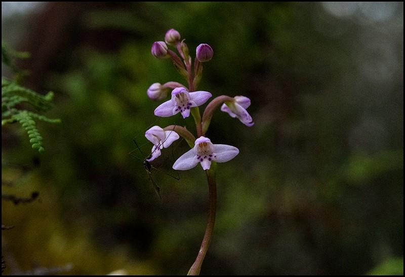 Angraecum cornigerum, la belle endémique Cynork37