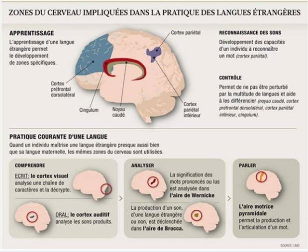 Le cerveau  Temp144