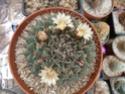 Name for Mammillarias B11