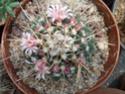 Name for Mammillarias P1010310