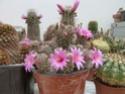 Name for Mammillarias P1030010