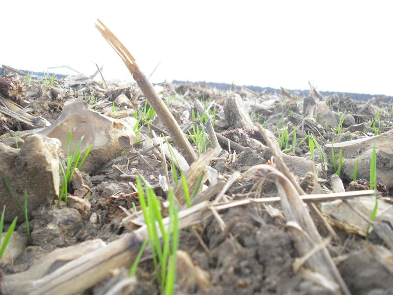 semis de blé 2013-2014 - Page 19 Cimg4425