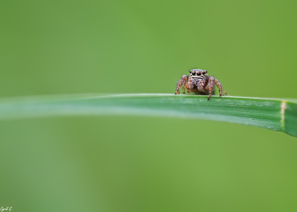 Sisi la Salticidae 5 Imgp0219
