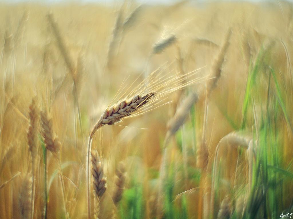 L'épi de blé Imgp8212