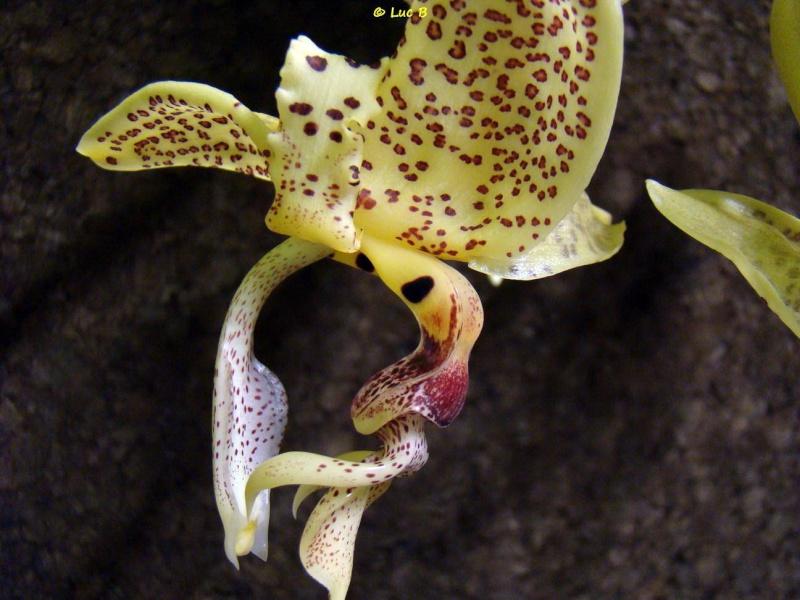 Stanhopea occulata Dsc03112