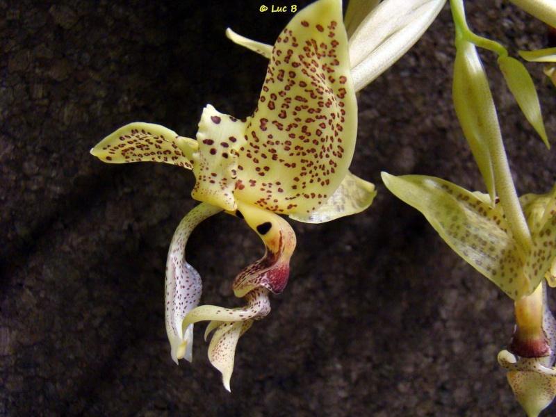 Stanhopea occulata Dsc03113