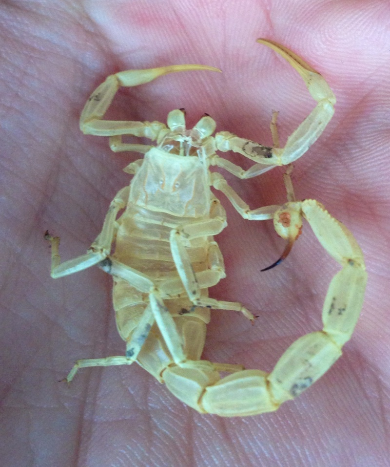 Amidala, Leiurus Quinquestriatus Image10