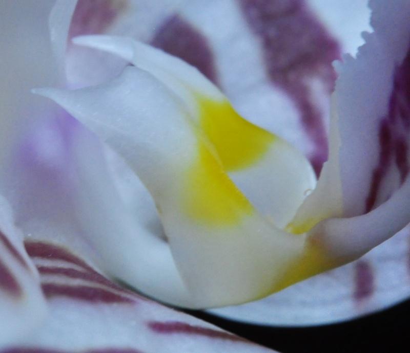 survol de Phalaenopsis amboinensis Phalae15
