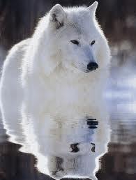 Présentation d'Ayumi ^.^ Wolfs10