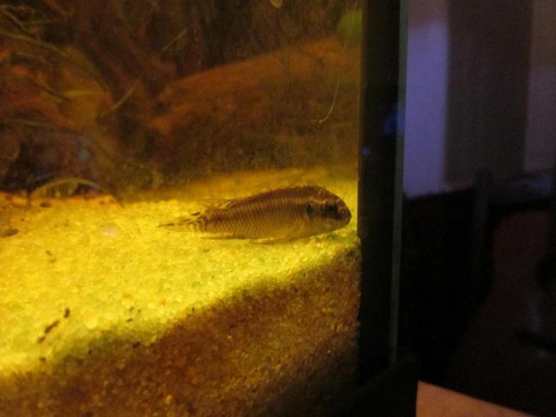 Pelvicachromis Taeniatus Moliwe 03510