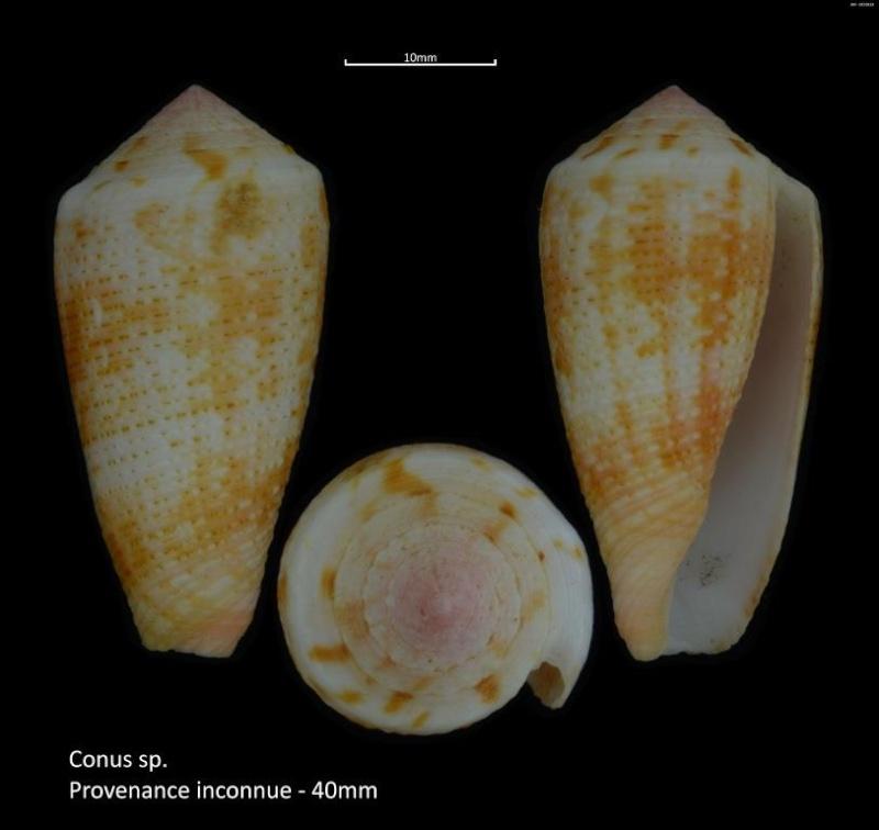 Conus (Pionoconus) metcalfii  Reeve, 1843 voir Conus (Pionoconus) magus - Page 2 M2_t1a12