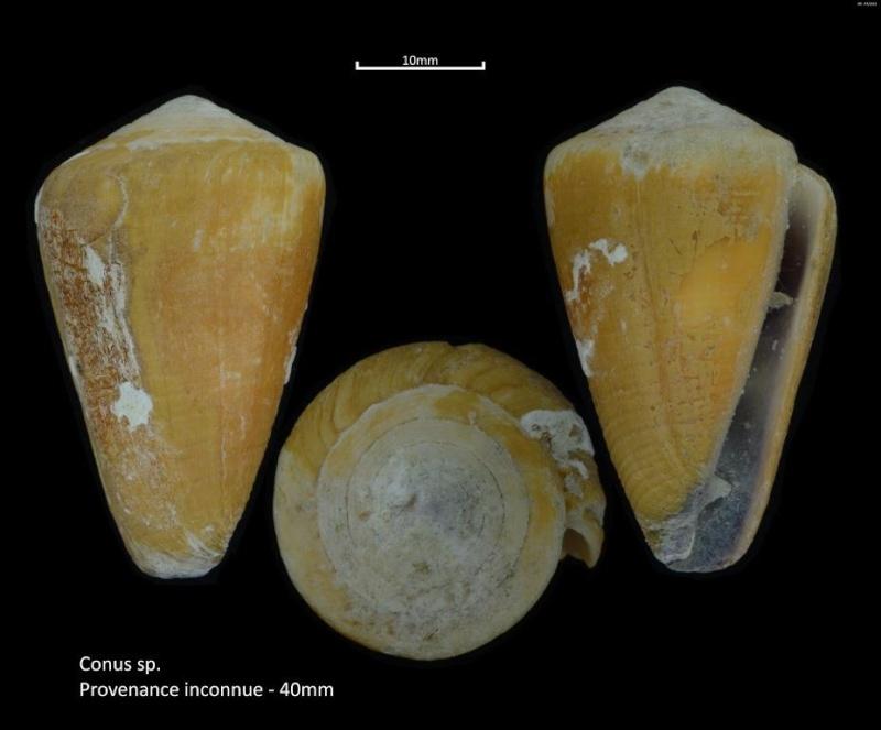 Conus sp. M2_T1A_A5 = conus frigidus ou flavidus M2_t1a13