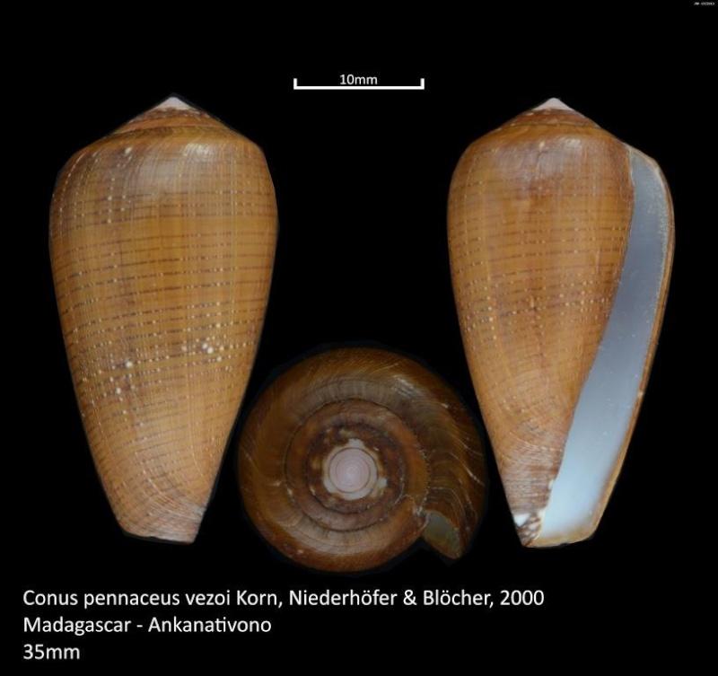 Conus (Darioconus) vezoi  (Korn, W., H.-J. Niederhöfer & M. Blöcher, 2000) M2_t1a17