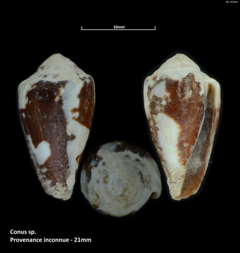 Phasmoconus exiguus (Lamarck, 1810) M2_t1b12