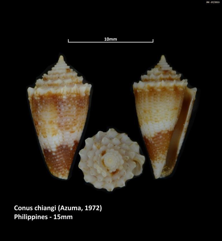 Conus (Stephanoconus) chiangi   Azuma, 1972 M2_t1b16
