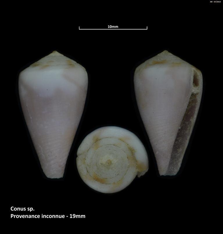 Rhizoconus rattus (Hwass in Bruguière, 1792) M2_t1b22