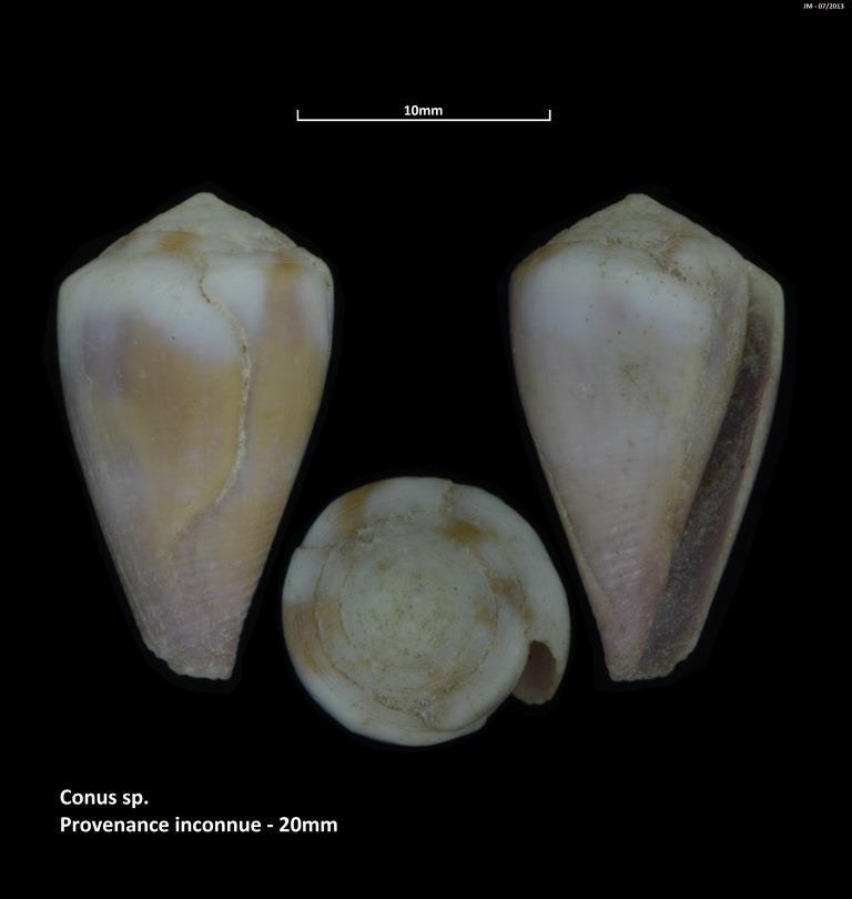Rhizoconus rattus (Hwass in Bruguière, 1792) M2_t1b23