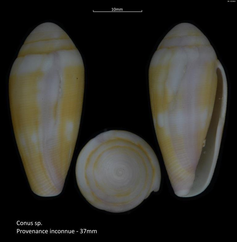 Leporiconus tenuistriatus Sowerby II, 1858 M2_t1b30