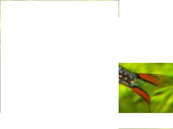 [JEU] Devinez l'espèce !!! - Page 19 Danio-11