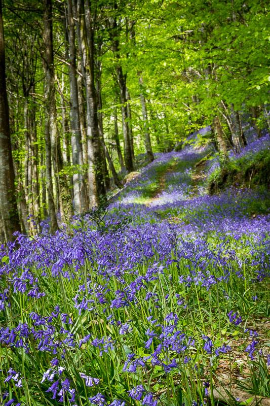 Forêt bleue - Bois de Hal - Hal - Belgique Img_2110