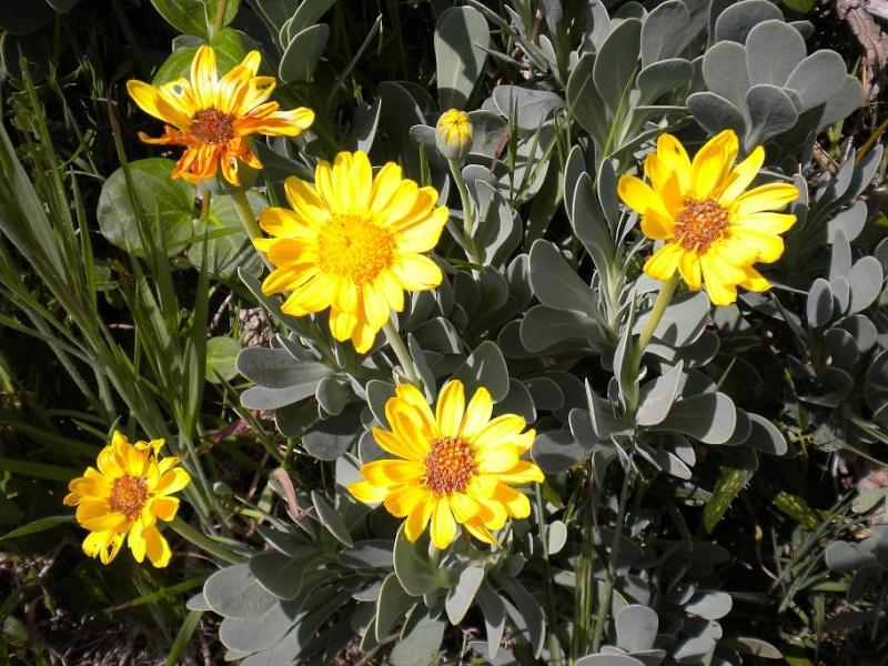 Othonne à feuilles de giroflée / Hertia cheirifolia Plante14