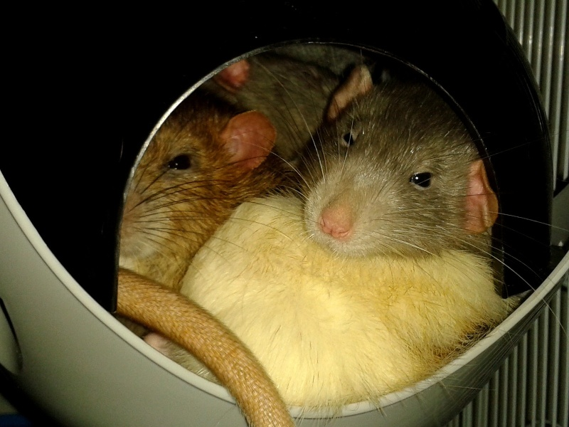 Les RatsCapables de Titia ! - Page 9 2013-157