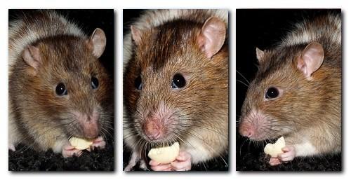 Les RatsCapables de Titia ! Charli10