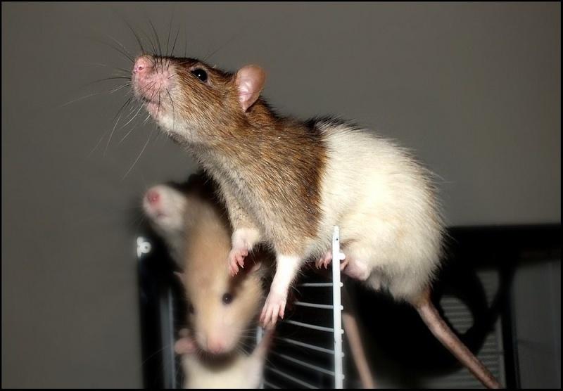 Les RatsCapables de Titia ! - Page 7 Dscf3415