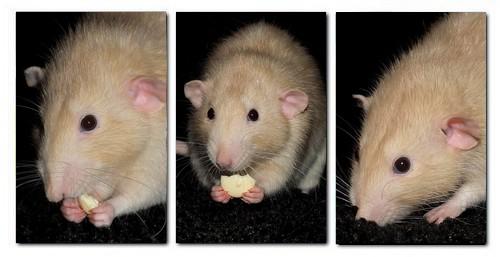 Les RatsCapables de Titia ! Echo1010