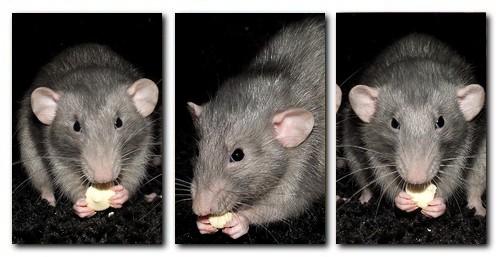 Les RatsCapables de Titia ! Inca_e10