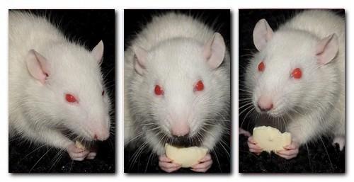 Les RatsCapables de Titia ! Snow11