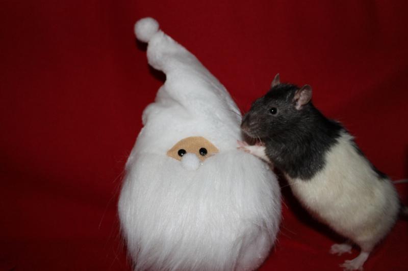Des Rats Gibus Img_4812