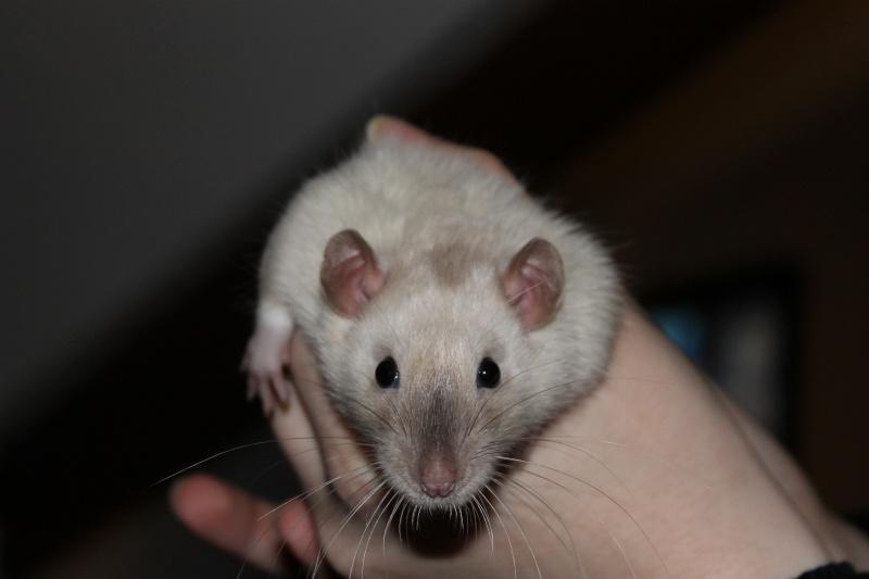 Des Rats Gibus Img_4813
