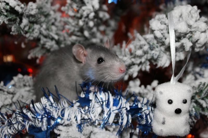 Des Rats Gibus Img_4814