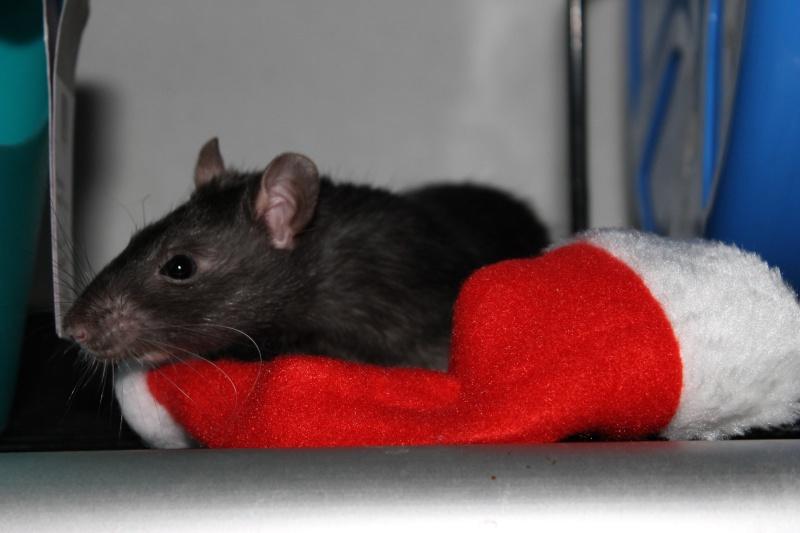 Des Rats Gibus Img_4910