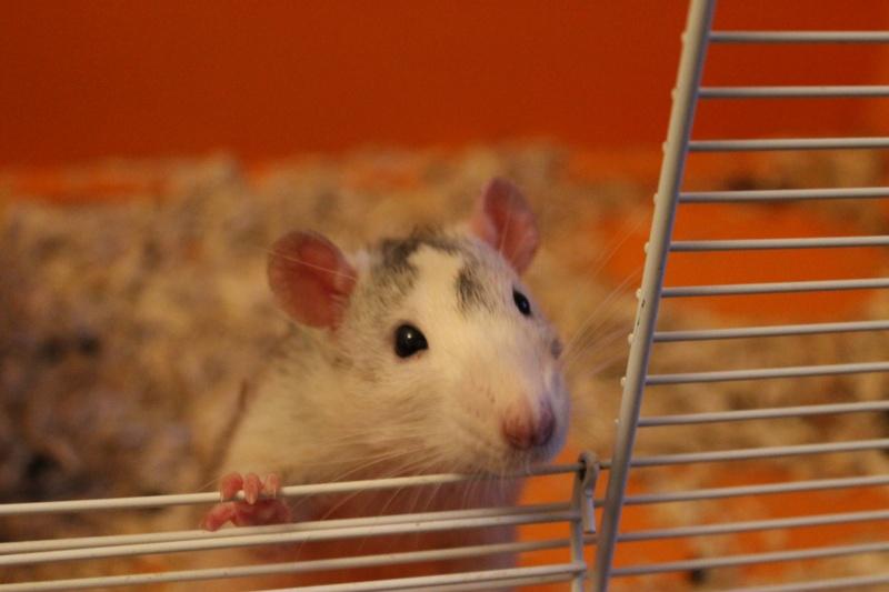 Des Rats Gibus Img_5112