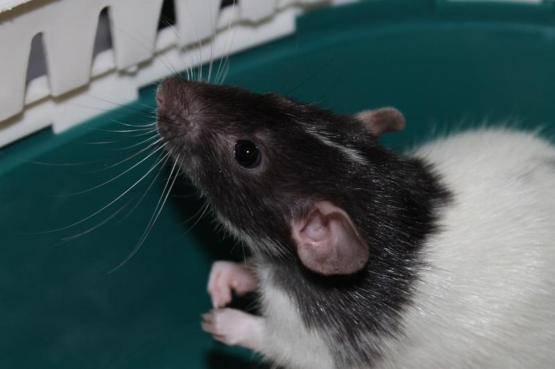 Des Rats Gibus Img_5113