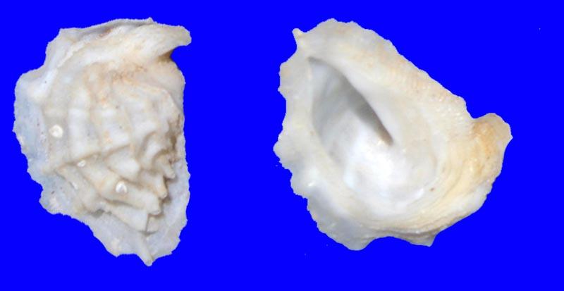Coralliophila fimbriata - (A. Adams, 1854) Corral10