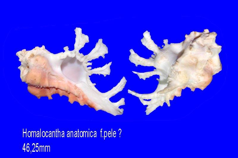 Homalocantha anatomica - (Perry, 1811) Homalo10