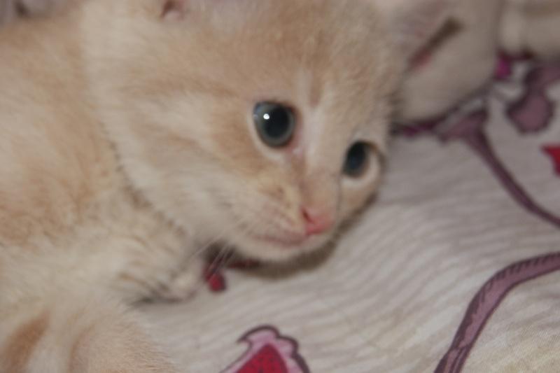 Chipie adorable chatonne de couleur crème ( RESERVER ) Dsc04910