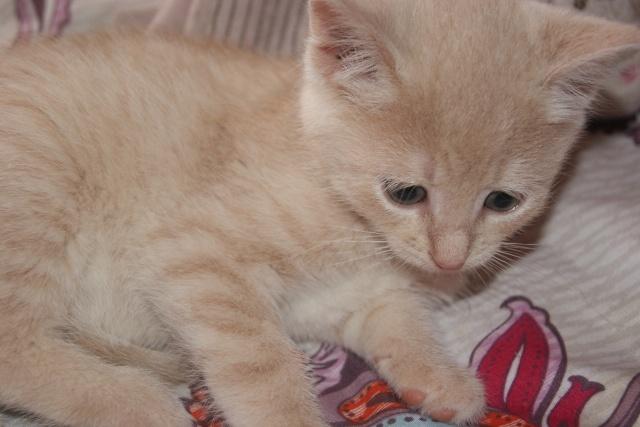 Chipie adorable chatonne de couleur crème ( RESERVER ) Dsc04913